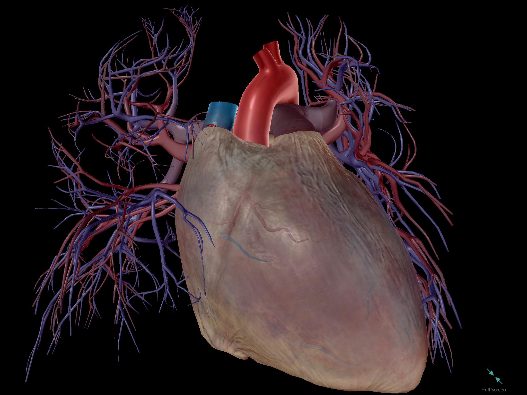 Pericardium-Human-Heart-Cardiovascular-System.png