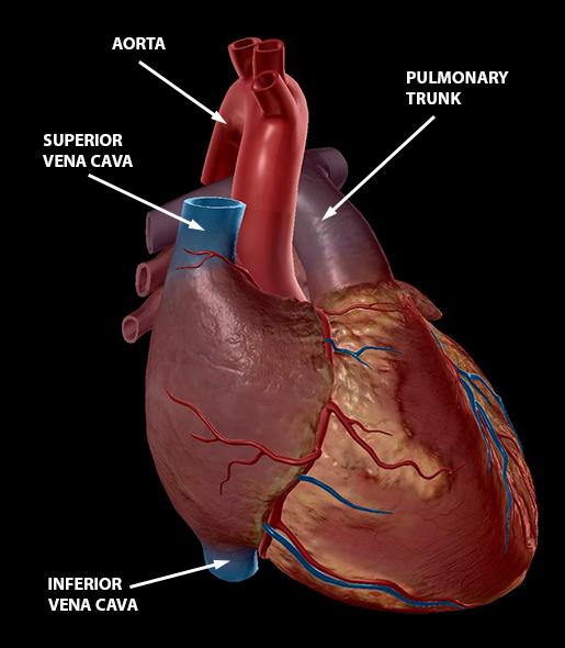 circulatory-system-heart-superior-inferior-vena-cava-aorta-pulmonary-trunk