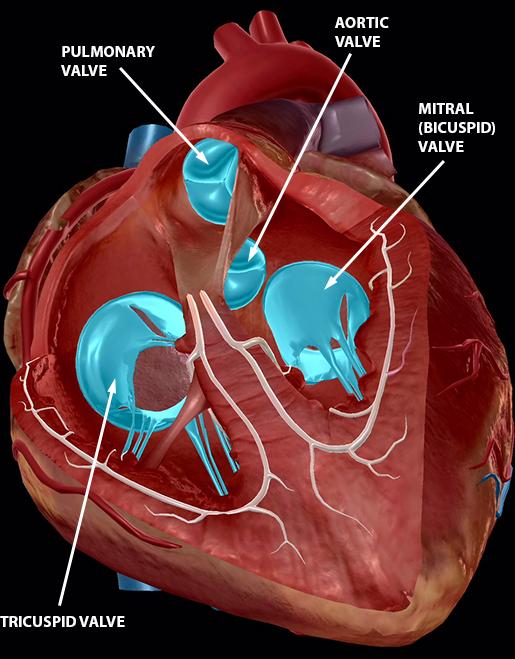 circulatory-system-heart-valves