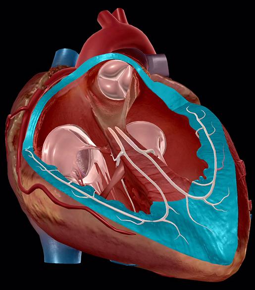 circulatory-system-heart-wall-myocardium