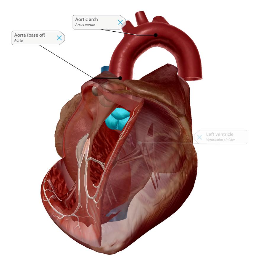 aortic-semilunar-valve