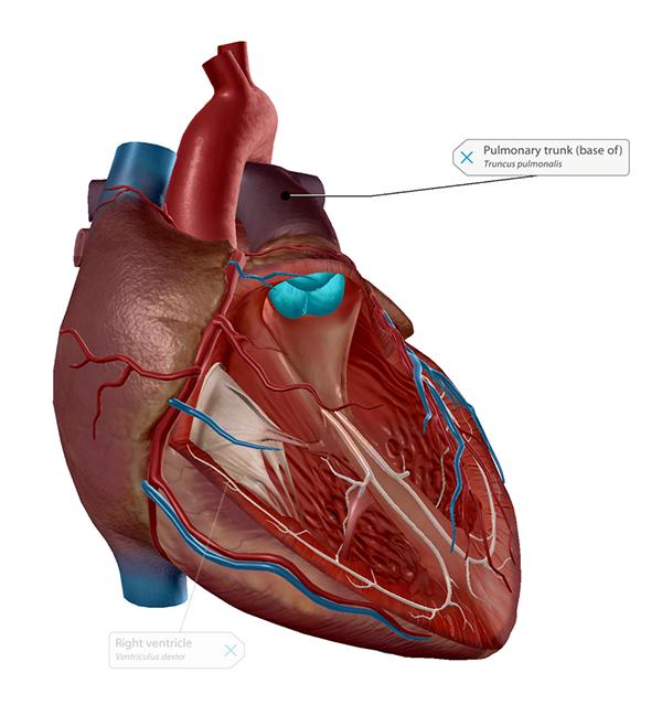 pulmonary-semilunar-valve
