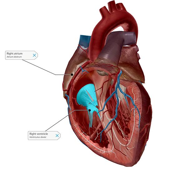 tricuspid-valve