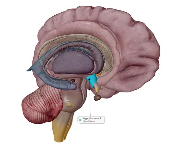 thermoregulation-hypothalamus