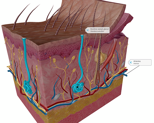 thermoregulation-skin