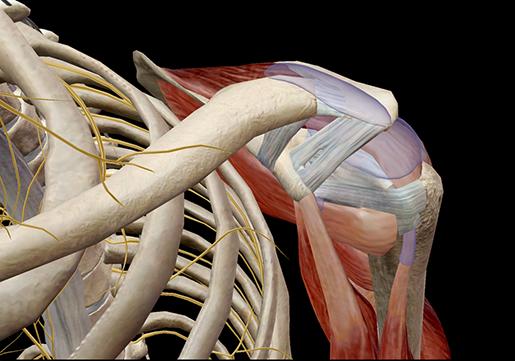 muscle-bursae-shoulder-joint-subacromial-bursa-synovial