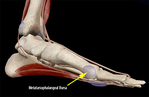 muscle-metatarsophalangeal-bursa-hallux-big-toe-joint-metatarsal
