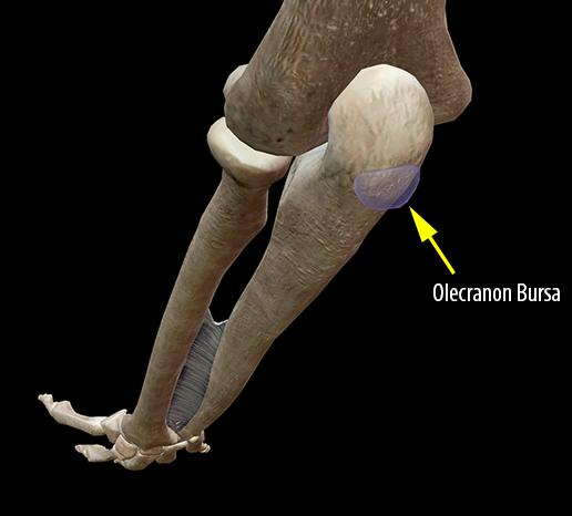 muscle-olecranon-subcutaneous-bursa-elbow-joint
