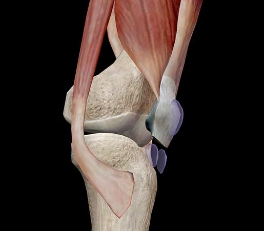 muscle-patella-superficial-subcutaneous-prepatellar-bursa