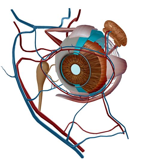 eye-model-choroid-retina-pupil