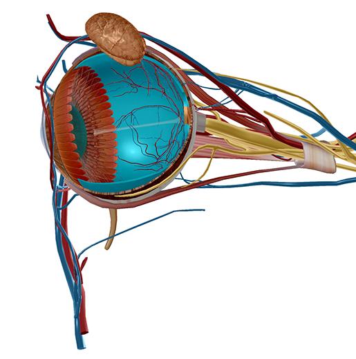 eye-model-retina-and-lens