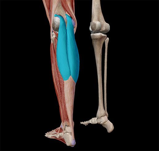 muscle-lever-gastrocnemius
