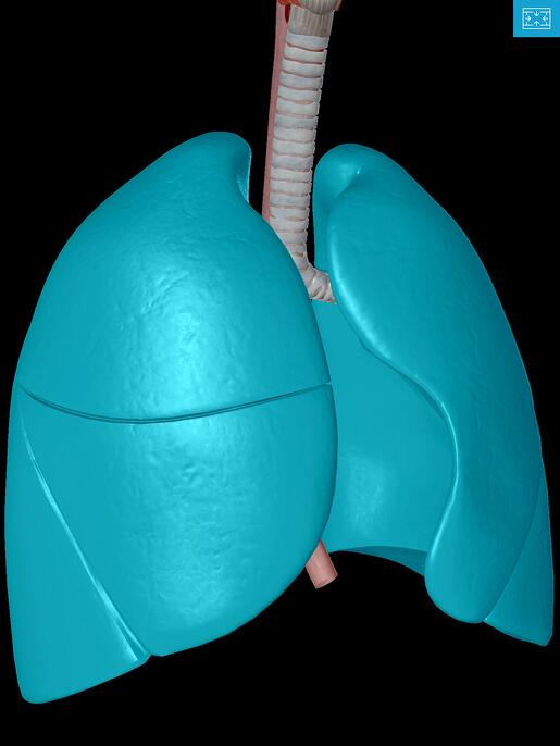 Lower-Respiratory-System-Left-right-lung-fissures.jpg