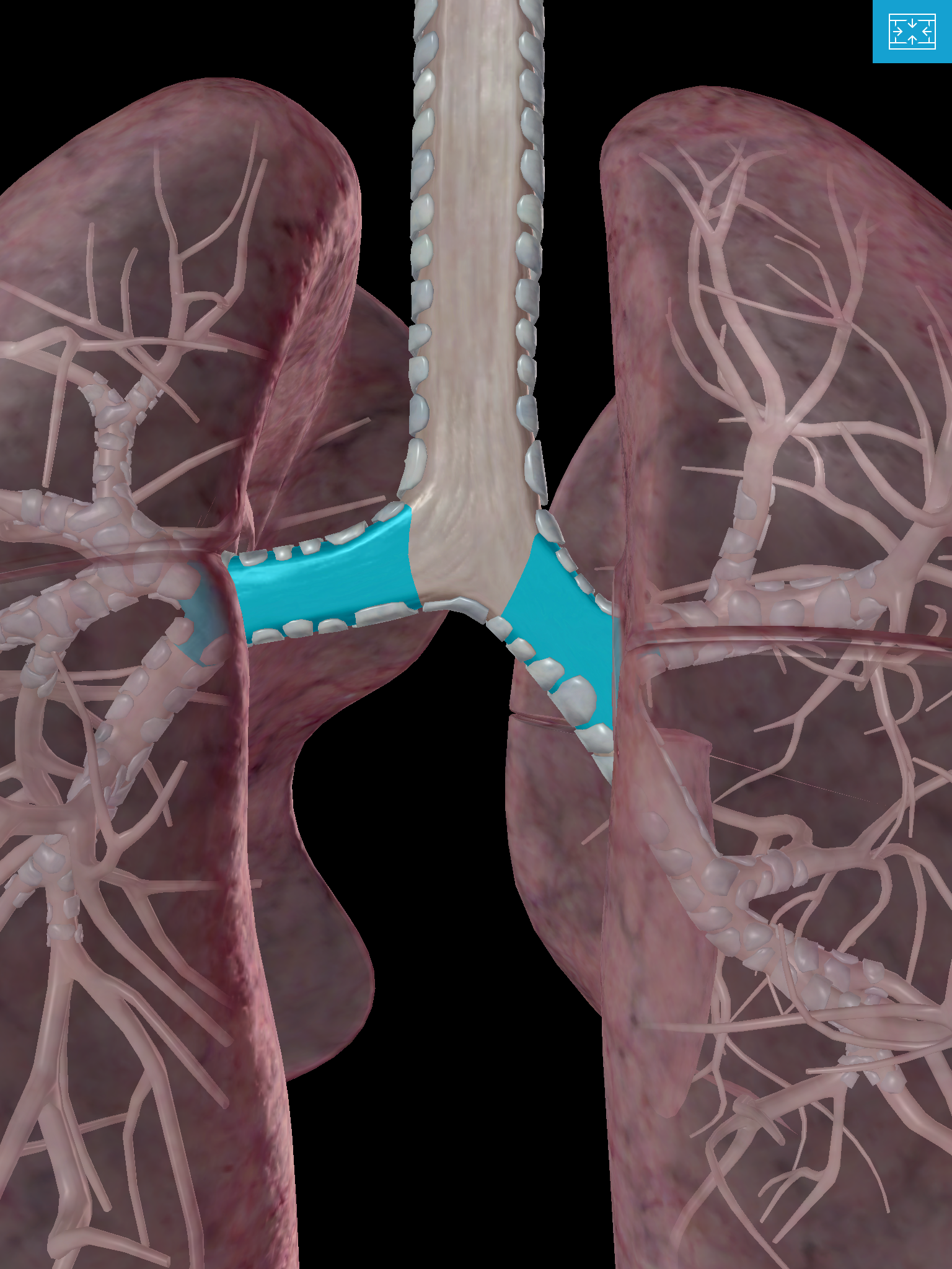 Lower-Respiratory-System-lungs-primary-bronchus-hyaline-cartilage.png