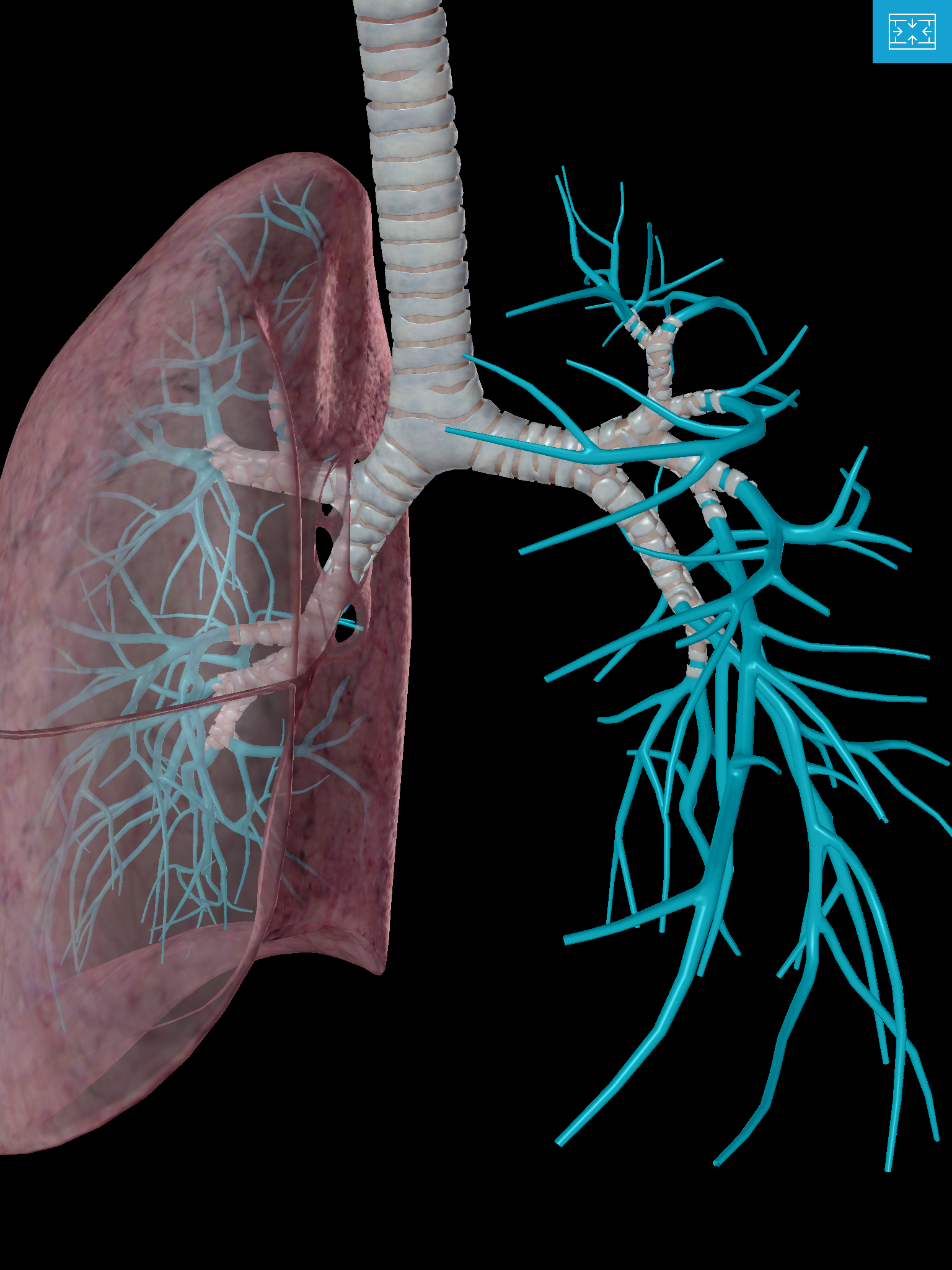 Lower-Respiratory-system-lungs-tertiary-segmental-bronchus-Bronchioles-alveoli.png