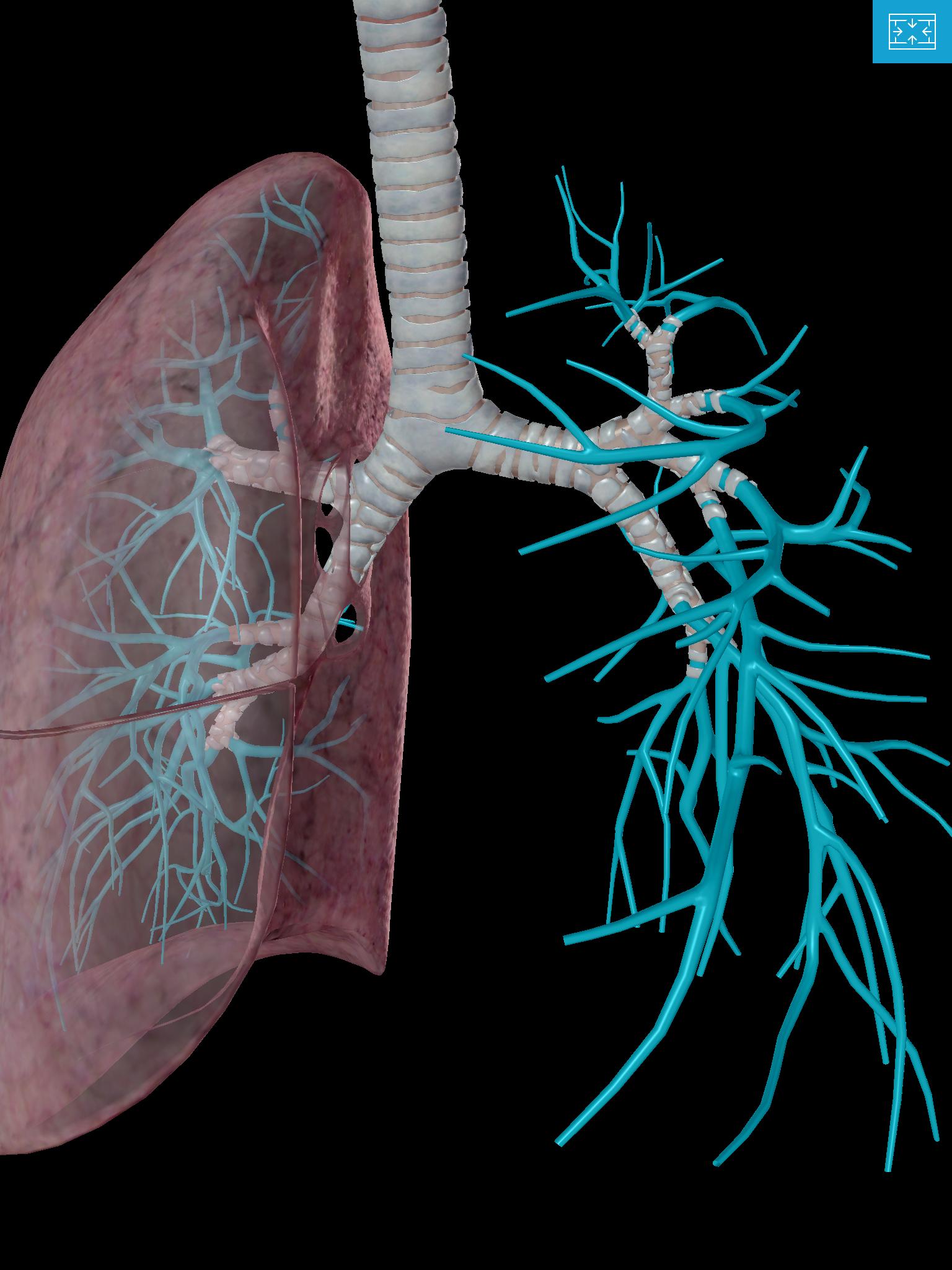 Lower-Respiratory-system-lungs-tertiary-segmental-bronchus-Bronchioles-alveoli.png