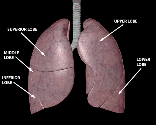 lower-respiratory-lung-lobes