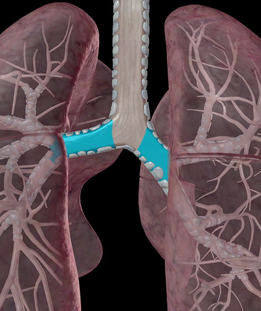 lower-respiratory-lungs-primary-bronchus-hyaline-cartilage