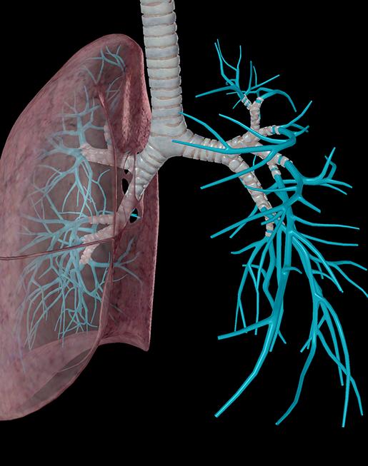 lower-respiratory-lungs-tertiary-segmental-bronchus