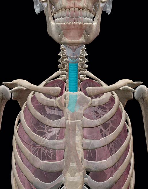 lower-respiratory-trachea