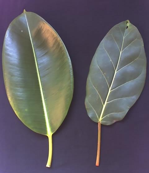 Ficus_elastica_Ficus_lutea
