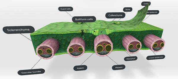 bulliform-cells-screenshot