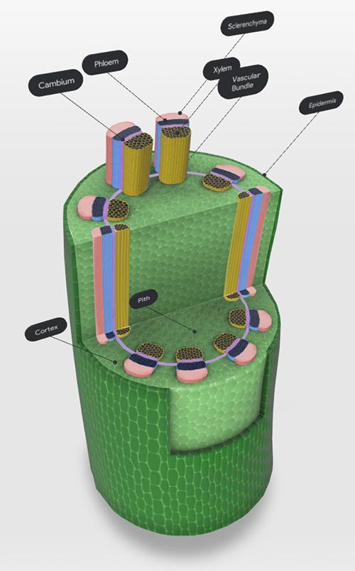 dicot-stem-screenshot