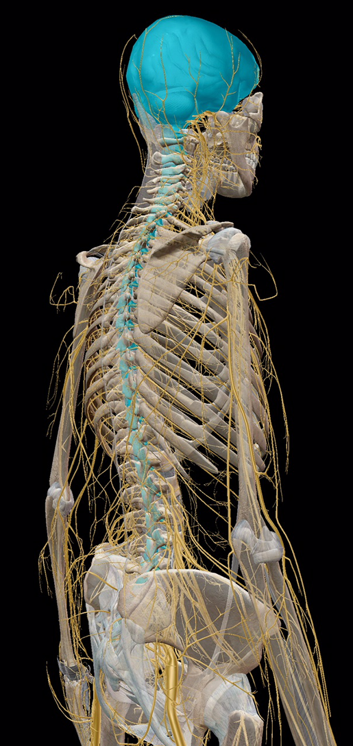 nervous-system-divisions-central-vs-peripheral