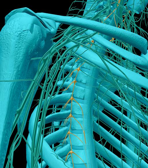 nervous-system-divisions-ganglia-sympathetic-chain
