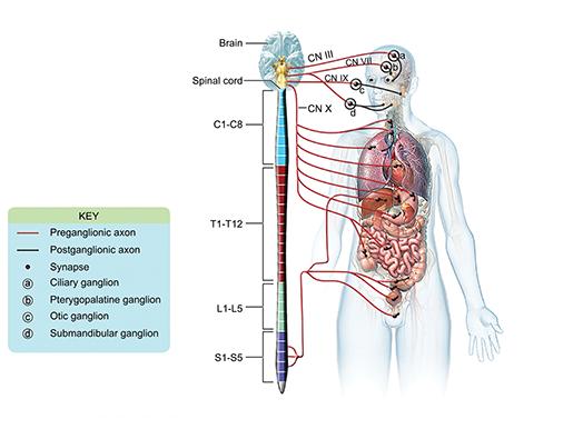 nervous-system-divisions-parasympathetic-ganglia