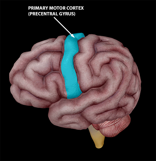 neuromuscular-interaction-primary-motor-cortex