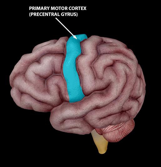 neuromuscular-interaction-primary-motor-cortex
