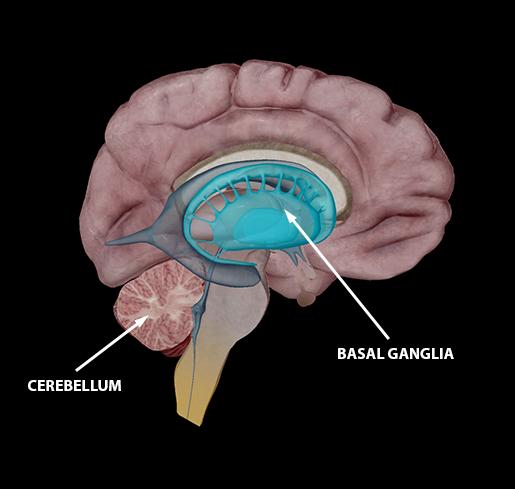 neuromuscular-interaction-basal-ganglia-cerebellum