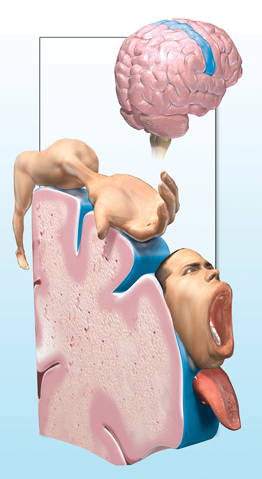 neuromuscular-interaction-motor-homunculus-illustration