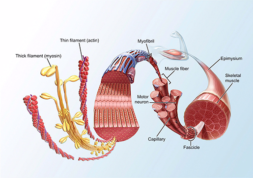 neuromuscular-interaction-skeletal-muscle-tissue-structure-2