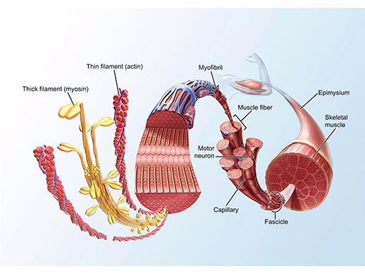 neuromuscular-interaction-skeletal-muscle-tissue-structure