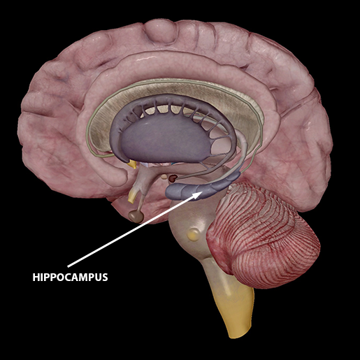 neuromuscular-interactions-hippocampus