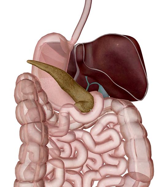 digestive-system-accessory-organs