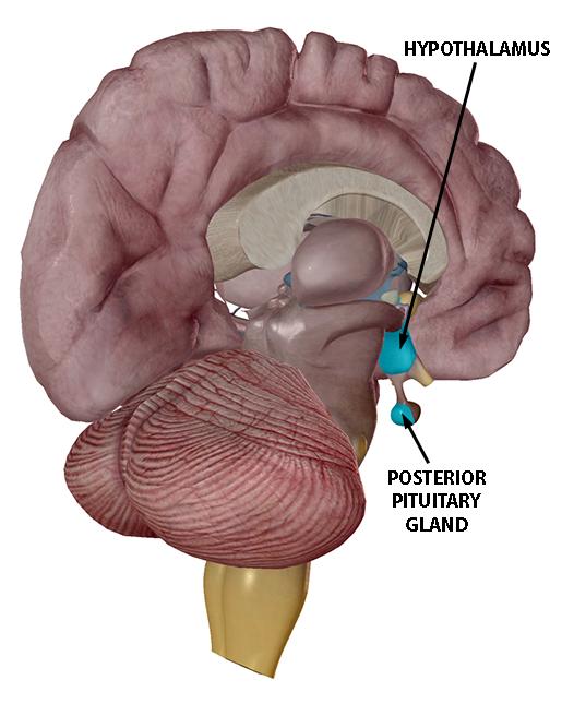 hypothalamus-and-posterior-pituitary-gland-2