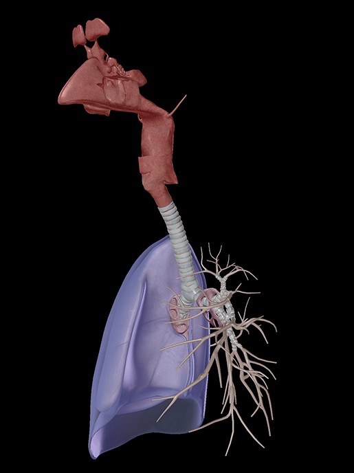 respiratory-system-structures
