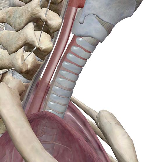 trachea-trachealis-muscle