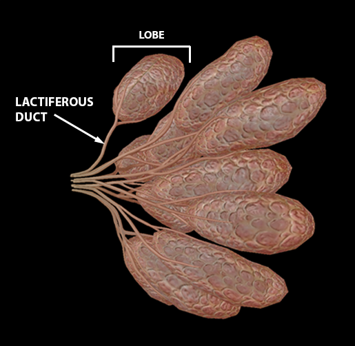 female-breast-lobes-and-lactiferous-ducts-2