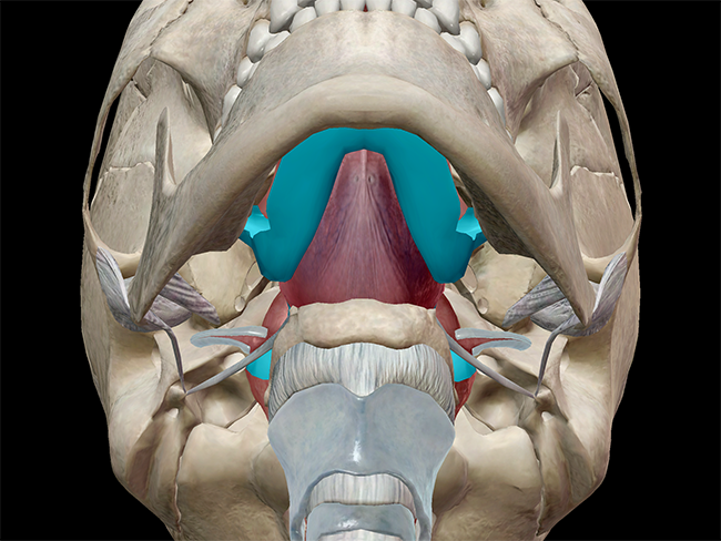 The oral cavity, oropharynx, nasopharynx, and laryngopharynx