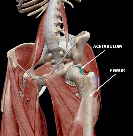 hip-osteoarthritis-healthy-joint-cartilage-acetabulum-femur