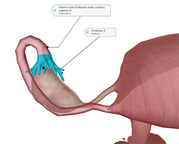 ovary-blog-uterine-tube-fimbriae