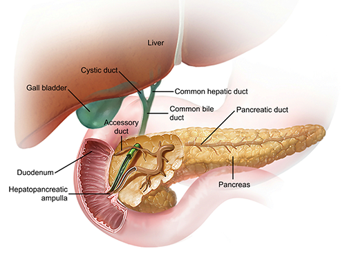 pancreas-and-other-accessory-organs