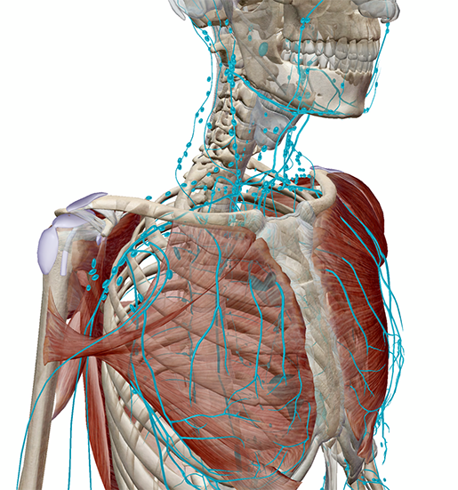 lymphatic-vessels-nodes-upper-body