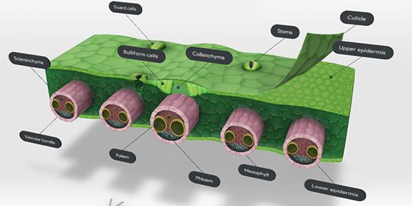 monocot-leaf-screenshot-stomata-2