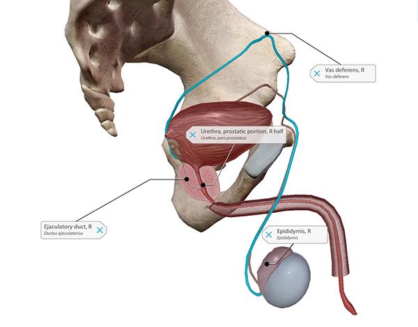 prostate-pathway-of-sperm