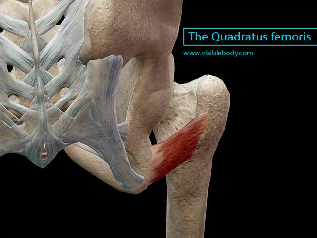 The Quadratus femoris